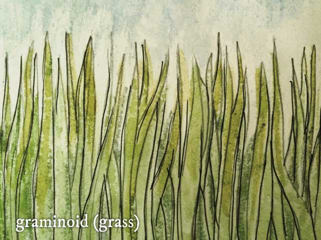 Indian Ricegrass (Achnatherum hymenoides)